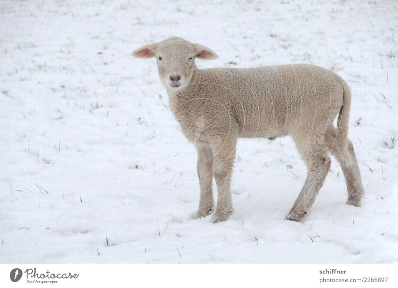 Frohes Fest! Winter Schnee Tier Nutztier 1 Tierjunges klein Schaf Lamm Lammfleisch Winterlamm schön kalt Außenaufnahme Textfreiraum links