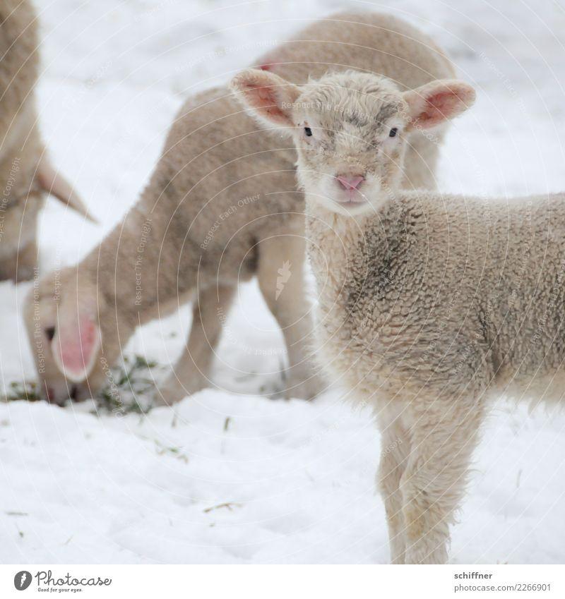 ...und ein gutes neues Jahr weiß Tier Winter Tierjunges kalt Schnee Tiergruppe beobachten Wachsamkeit Schaf Fressen kuschlig Lamm Herde Nutztier Klischee