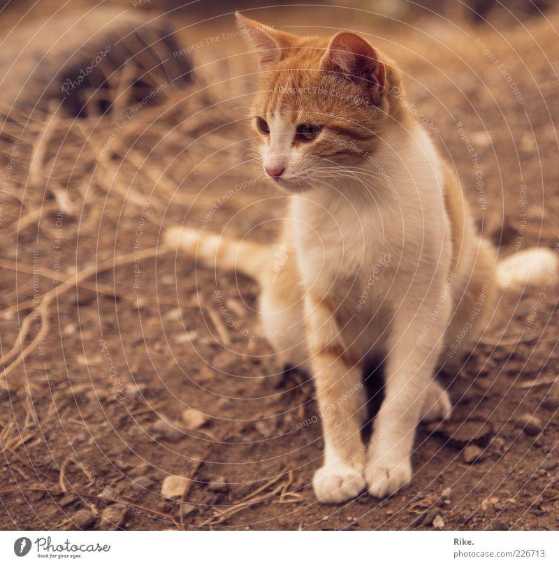 Verwegenes Kätzchen. Erde Sand Haustier Wildtier Katze 1 Tier beobachten hocken sitzen dünn frei schön niedlich braun rot Wachsamkeit ruhig Natur Umwelt Stein