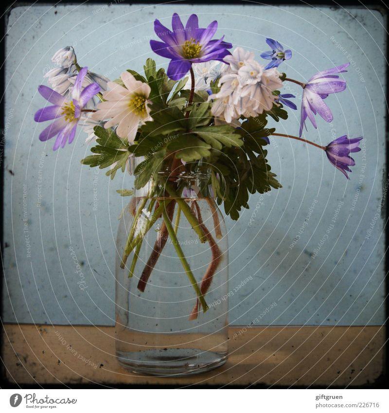 i'm waiting for spring to come to my kingdom Natur weiß Blume blau Pflanze Blatt Blüte Frühling Glas Umwelt frisch Wachstum Dekoration & Verzierung natürlich