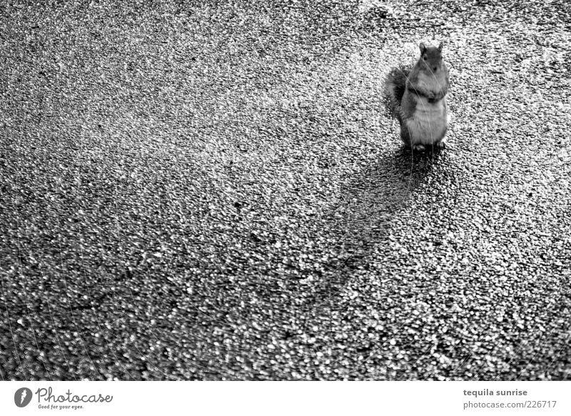 There goes my cracker... Tier Asphalt Wildtier Wachsamkeit vertikal Eichhörnchen Nagetiere Schwarzweißfoto freilebend freilaufend