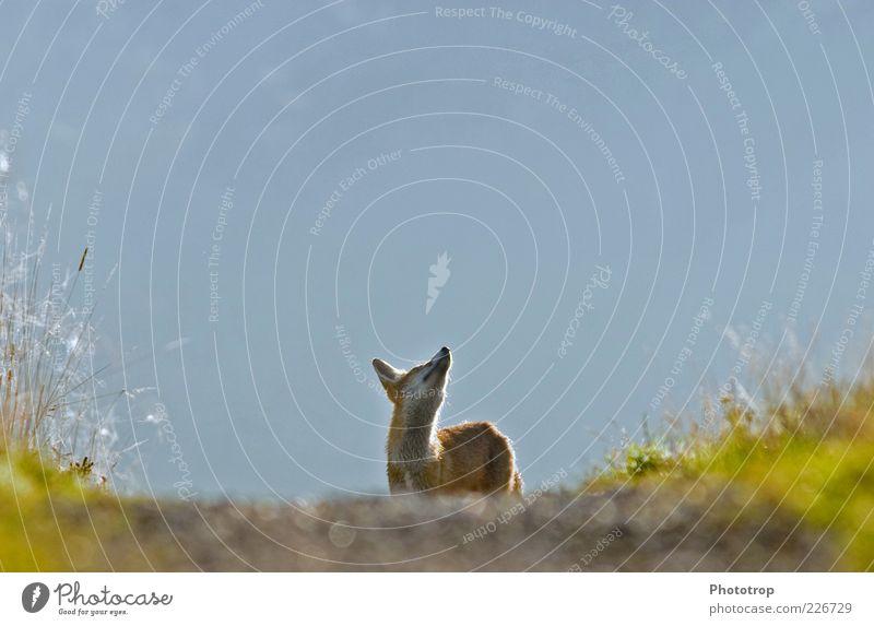 Kopf hoch!! blau rot Tier Kopf Wildtier Ohr beobachten Neugier Sehnsucht Fell Wachsamkeit Schnauze Fuchs Perspektive freilebend freilaufend