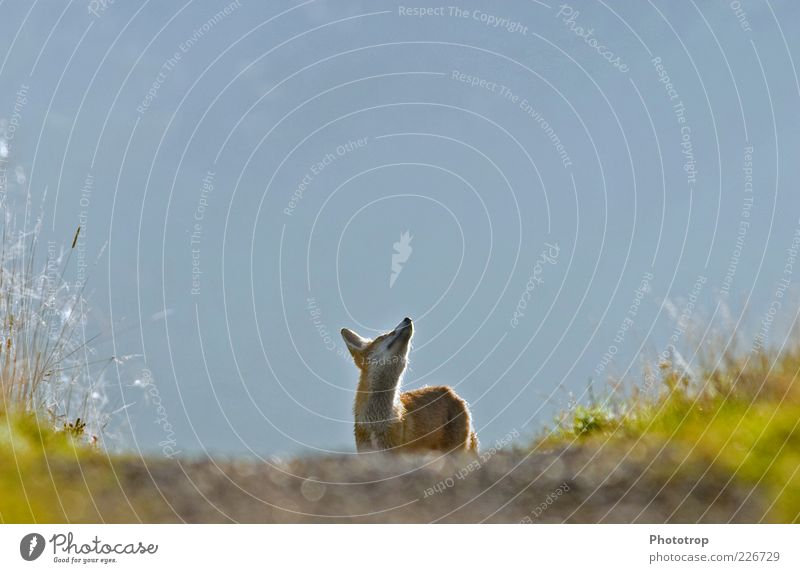 Kopf hoch!! Tier Wildtier Fell 1 Blick Neugier blau rot Sehnsucht Fuchs Blick nach oben Wachsamkeit beobachten Farbfoto Außenaufnahme Menschenleer Morgen Licht