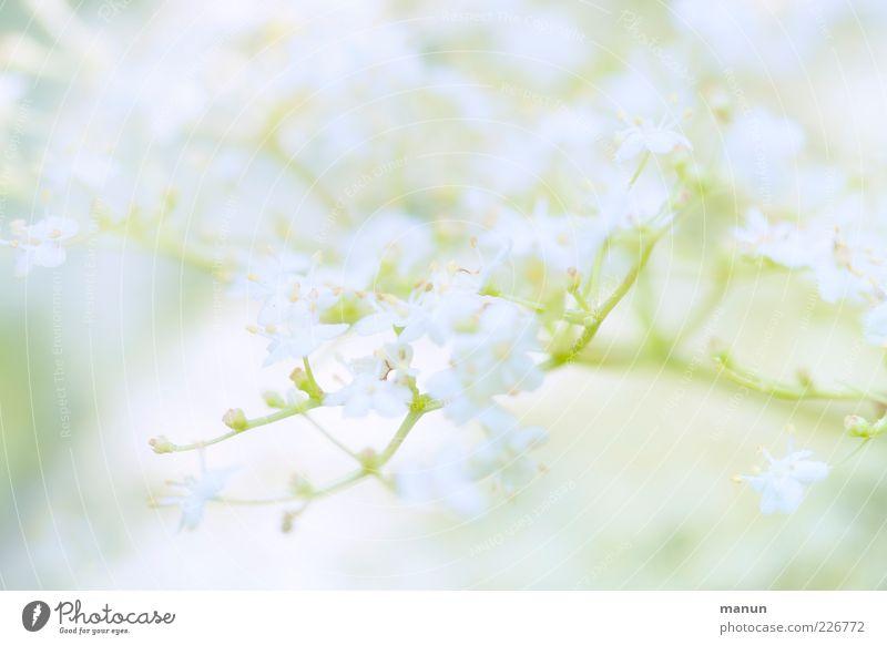 Hollerblüte Lebensmittel Bioprodukte Natur Frühling Pflanze Baum Blatt Blüte Nutzpflanze Holunderbusch Holunderblüte Blühend Duft fantastisch frisch Gesundheit