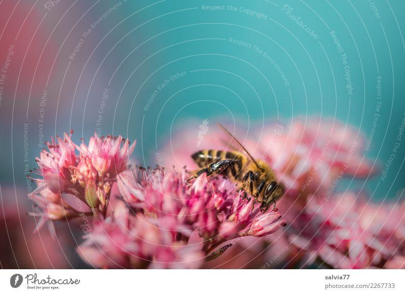 rosa Blütensternchen Umwelt Natur Pflanze Tier Himmel Sommer Blume Fetthenne Garten Biene Insekt Honigbiene 1 Blühend Duft blau Farbe Pollen Nektar fleißig