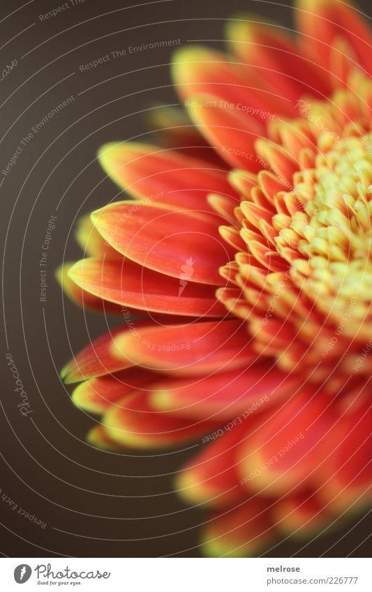 50 Prozent Pflanze Frühling Blume Blüte Gerbera Korbblütler Blühend braun gelb rot Anschnitt Blütenblatt orange Textfreiraum links Textfreiraum unten Farbfoto