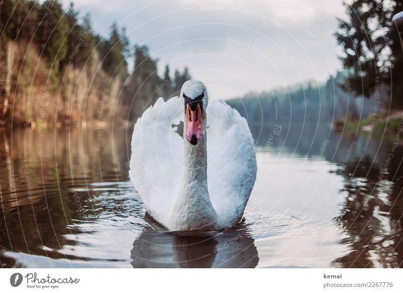 Der Herr des Sees Freizeit & Hobby Abenteuer Umwelt Natur Landschaft Tier Wasser Himmel Wolken Schönes Wetter Wald Seeufer Wildtier Vogel Tiergesicht Schwan