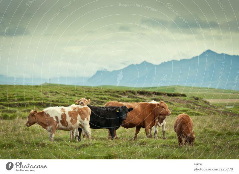 Cowboys Natur Tier Ferne Wiese Berge u. Gebirge Gras natürlich Tiergruppe Kuh Weide Island Bioprodukte Alm Biologische Landwirtschaft Nutztier Tierzucht