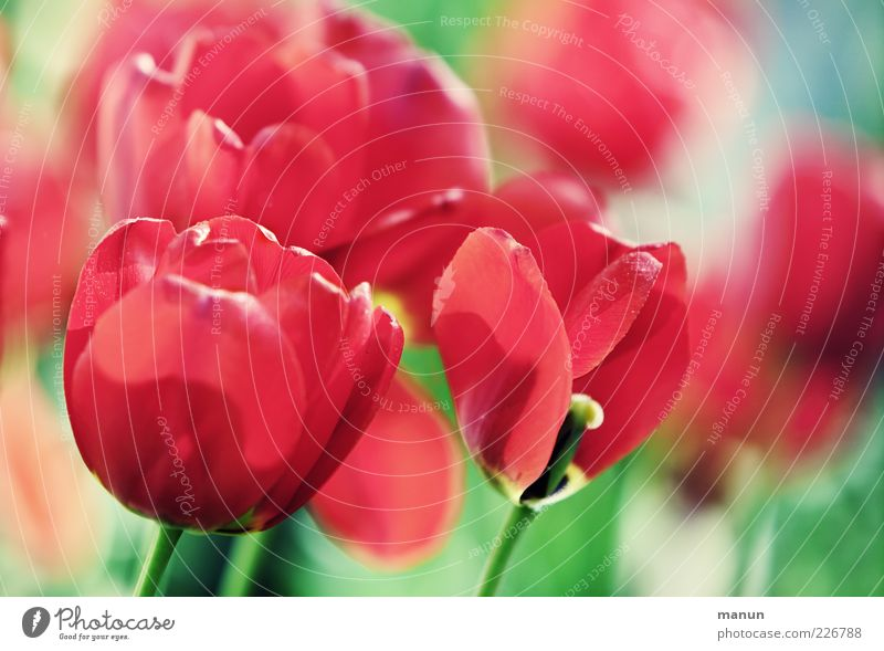 red sea Natur schön Blume Blüte Frühling Blühend Stengel Duft Tulpe Blumenbeet Blütenblatt Garten Frühlingsgefühle Blütenkelch Frühlingsblume Frühblüher