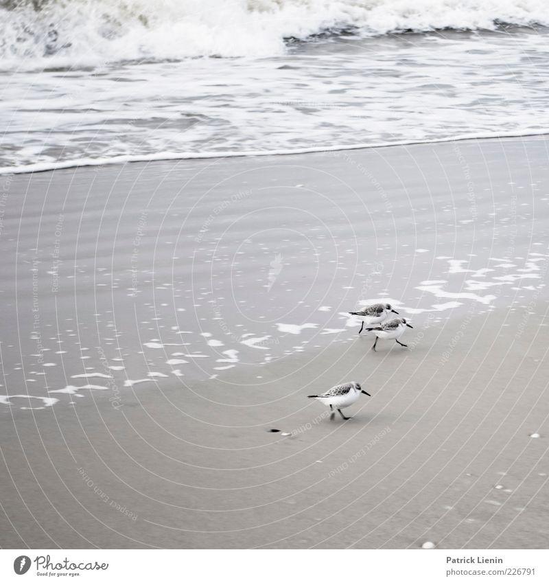 Alpenstrandläufer Umwelt Natur Tier Urelemente Wasser Wetter Wellen Küste Strand Nordsee Meer Insel Wildtier Vogel 3 laufen elegant schön klein niedlich Spitze