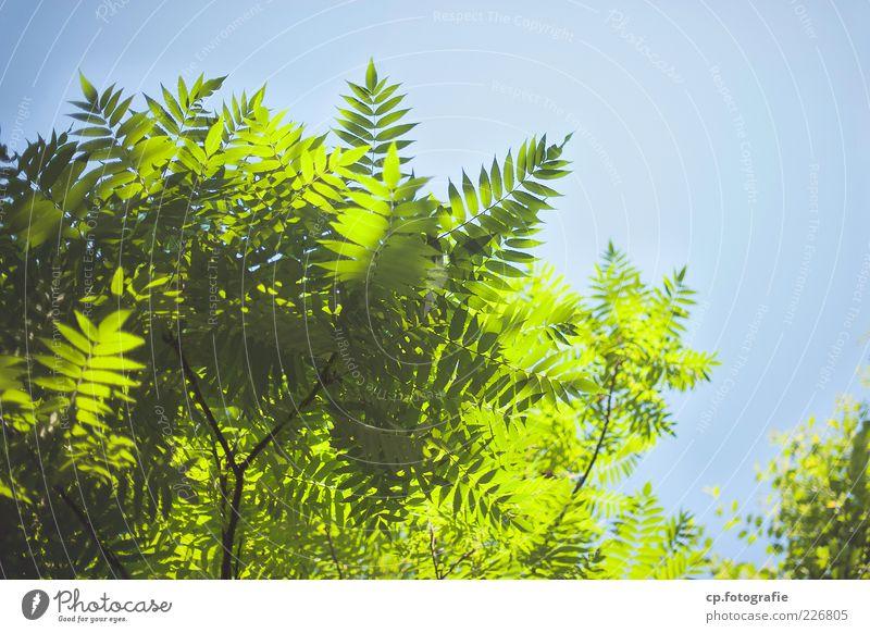 Sonnenanbeter Himmel Natur grün schön Baum Pflanze Sommer Blatt Lampe frisch natürlich Schönes Wetter Wolkenloser Himmel Zweige u. Äste