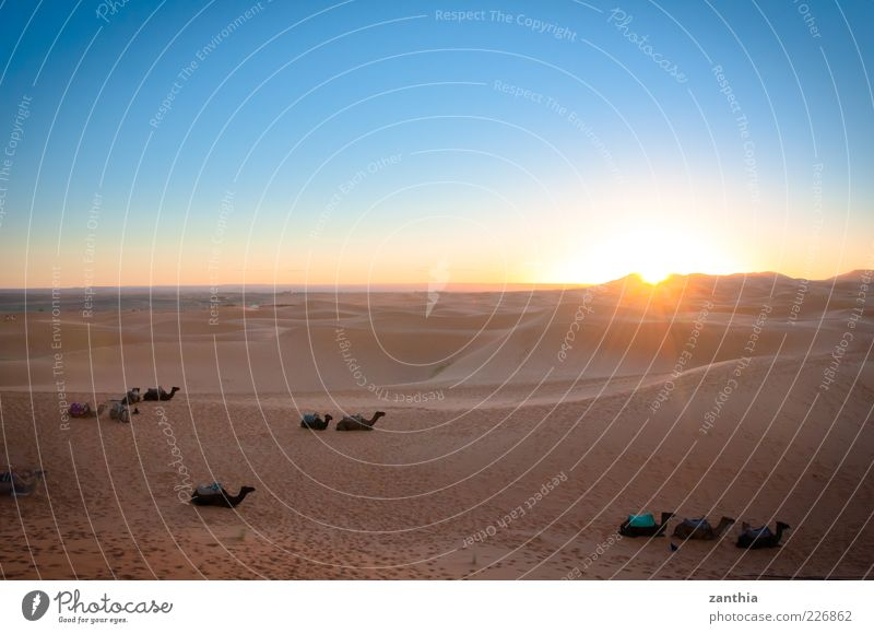 sunrise over the desert Natur Landschaft Sand Himmel Wolkenloser Himmel Sonnenaufgang Sonnenuntergang Sonnenlicht Schönes Wetter Wüste Sahara Düne Tier Nutztier