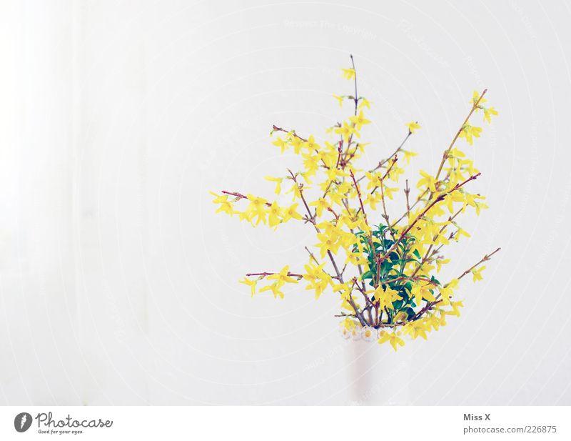 Forsythie Frühling Sträucher Blatt Blüte Blühend Duft hell gelb weiß Blumenvase Blumenstrauß Forsythienblüte Ast Frühblüher Farbfoto Innenaufnahme Menschenleer