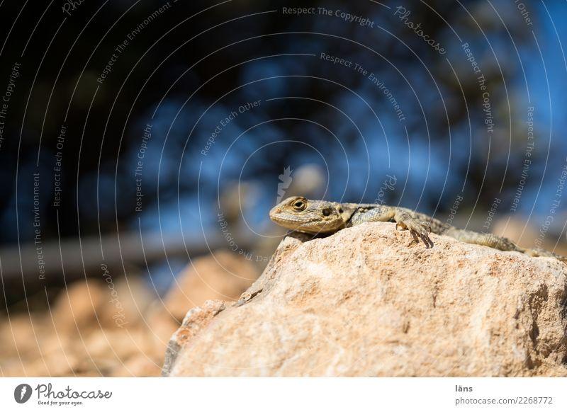 Wärmesucher Schönes Wetter Felsen Berge u. Gebirge Tier Echte Eidechsen 1 beobachten Erholung liegen warten Neugier heizen Farbfoto Außenaufnahme