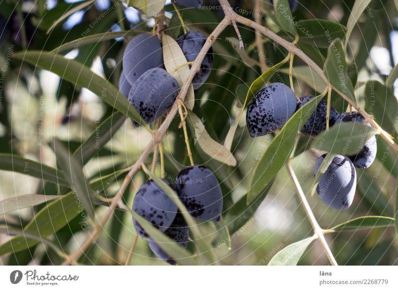 Oliven Lebensmittel Olivenbaum Olivenblatt Ernährung Herbst Schönes Wetter Pflanze Baum frisch grün violett genießen Qualität Wachstum reif Farbfoto