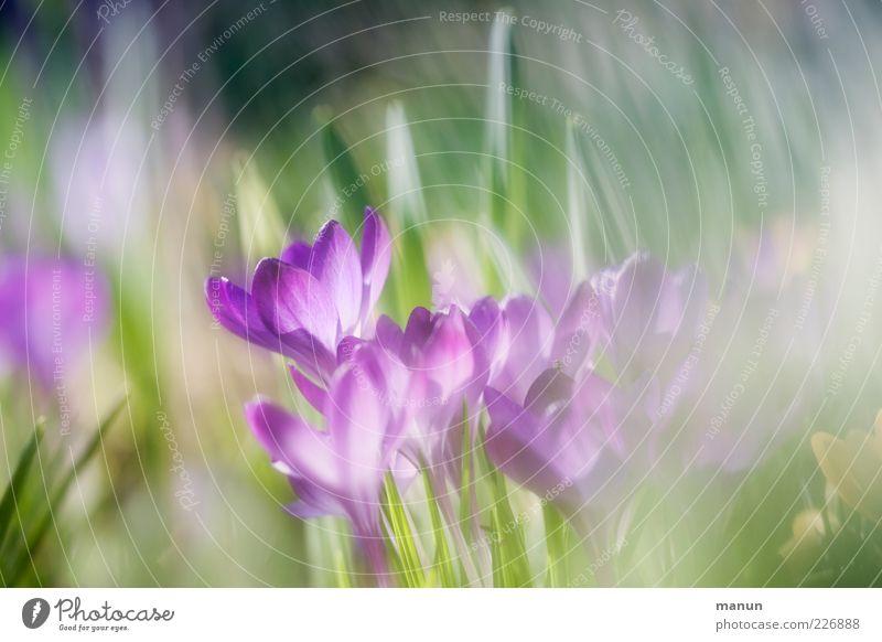 Küsschen Natur Frühling Blume Krokusse Frühlingsblume Frühblüher Frühlingsfarbe Frühlingsblumenbeet Duft fantastisch Fröhlichkeit hell schön violett rosa