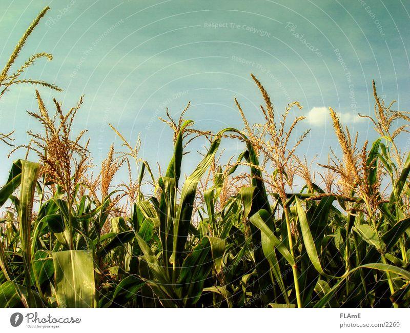 Maisfeld Pflanze Feld Korn Mais Maisfeld