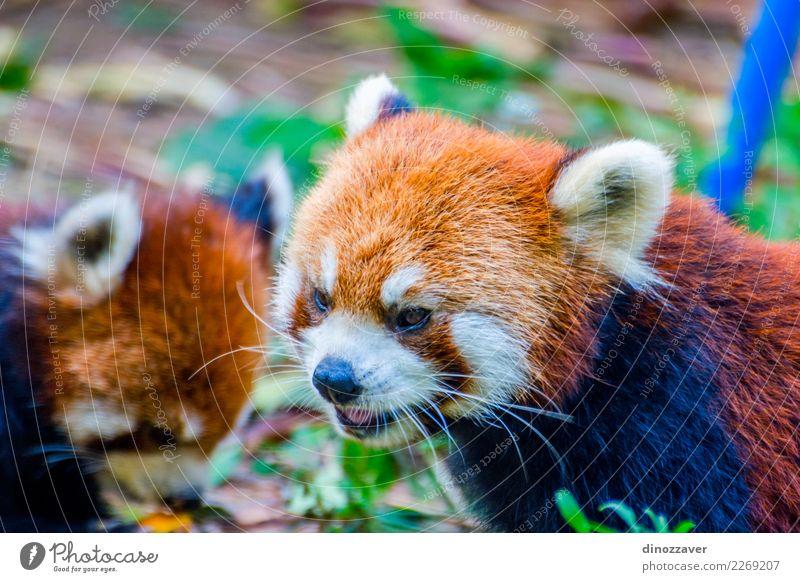 Roter Panda (Ailurus fulgens) Kürbise essend Katze Natur grün weiß rot Tier Blatt Wald Essen klein braun wild Park niedlich Lebewesen Asien