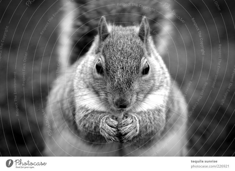 Omnomnom Tier Wildtier Nagetiere Eichhörnchen 1 Fressen füttern dick Schwarzweißfoto Außenaufnahme Schwache Tiefenschärfe Tierporträt Vorderansicht