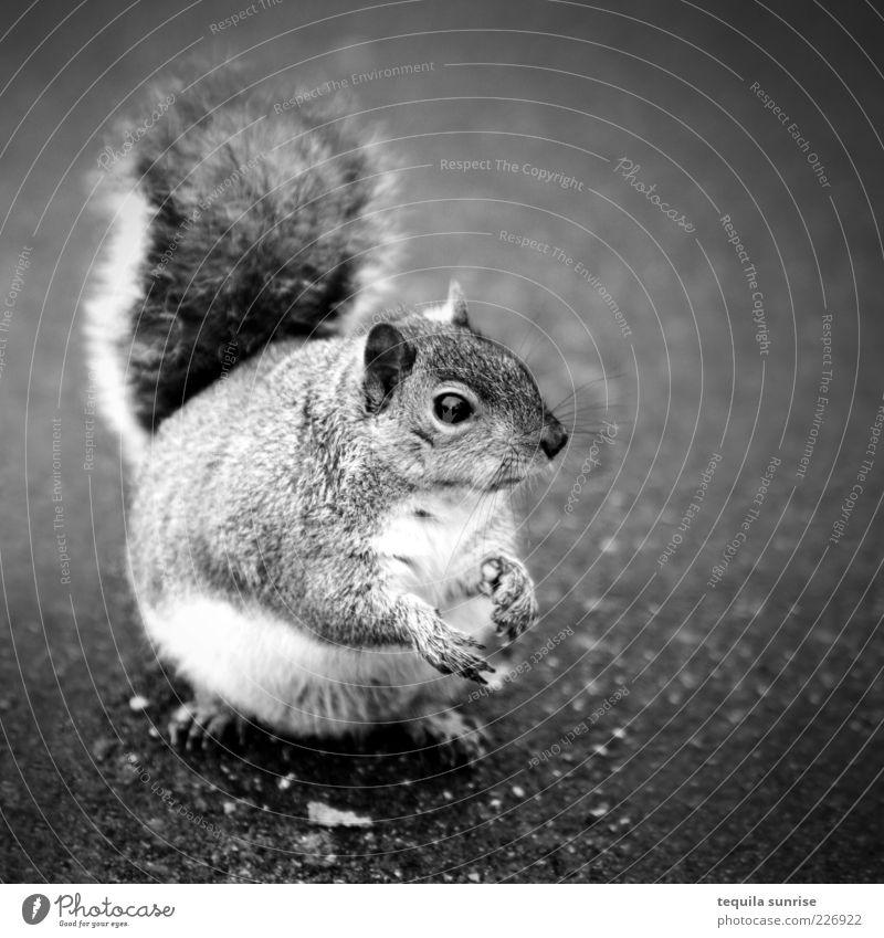 Moar cracker...? Tier Wildtier Nagetiere Eichhörnchen 1 Fressen füttern warten dick betteln Übergewicht Schwarzweißfoto Außenaufnahme Textfreiraum rechts