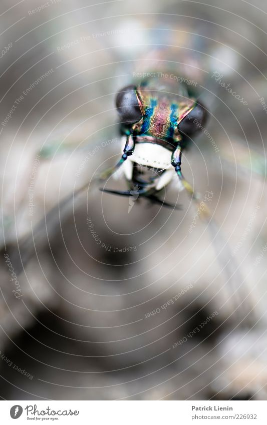 I am dangerous Umwelt Natur Tier Wildtier Käfer 1 beobachten entdecken Blick Aggression bedrohlich dunkel gruselig schön Neugier Spitze wild Stimmung Angst Auge