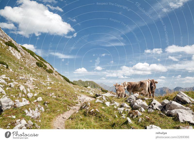 braune alpine Kühe auf Weide in den Bergen, Deutschland Ferien & Urlaub & Reisen Sommer Berge u. Gebirge Klettern Bergsteigen Natur Landschaft Tier Himmel