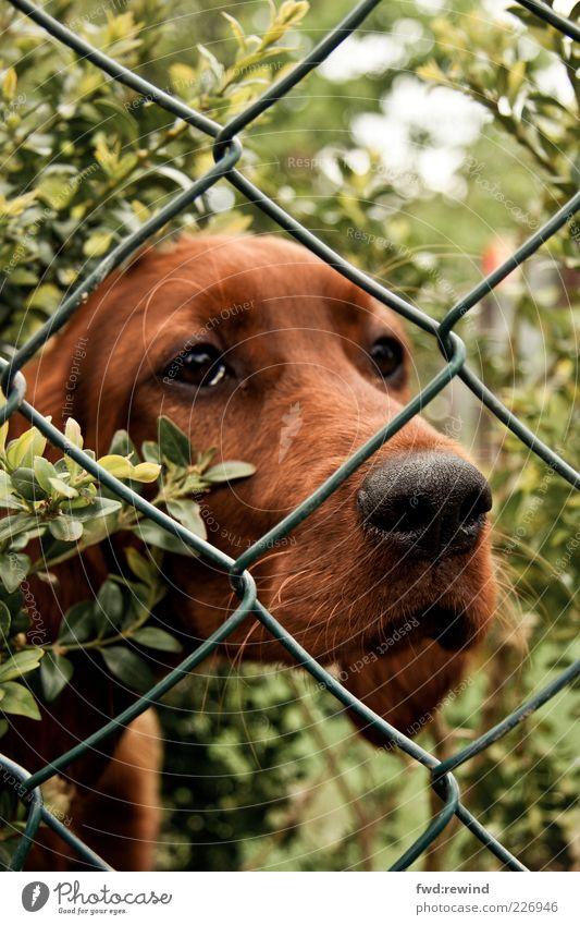 Warten auf Godot Natur grün ruhig Tier Garten Stil Hund Traurigkeit braun Tierjunges warten Tiergesicht beobachten Fell Zaun Haustier