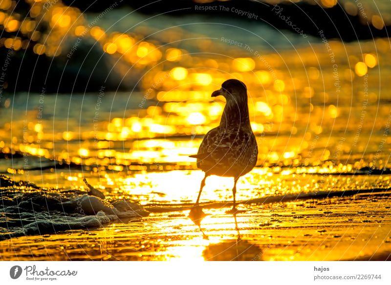 Silbermöwe bei Sonnenaufgang am Strand Natur Tier Wasser Wärme Ostsee Vogel gelb gold schwarz Larus argentatus Pontoppidan jung golden Brandung sonnig hellt