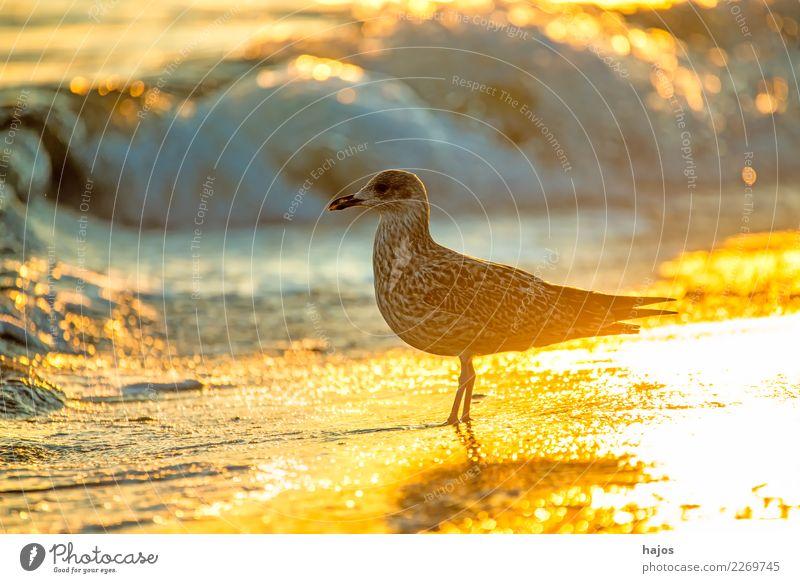 Silbermöwe bei Sonnenaufgang am Strand Natur Tier Wasser Wärme Ostsee Wildtier Vogel 1 schön Larus argentatus Pontoppidan jung golden Brandung sonnig hellt Möwe