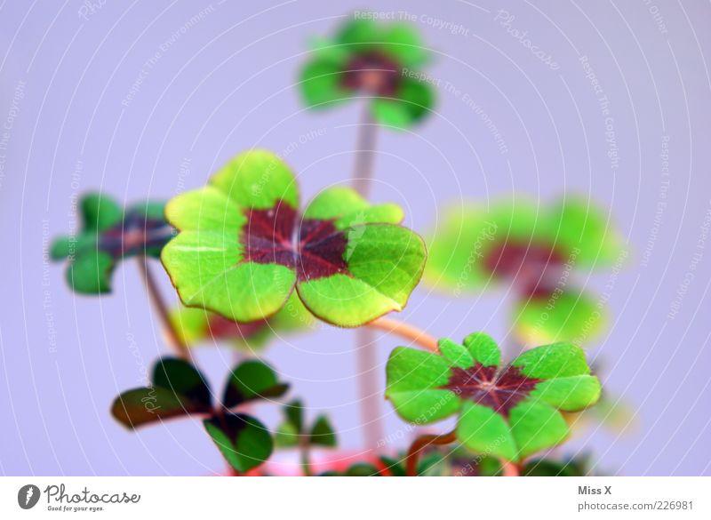 Glücksklee Pflanze Blatt Wachstum außergewöhnlich grün Glücksbringer Kleeblatt vierblättrig Topfpflanze Farbfoto mehrfarbig Nahaufnahme Menschenleer