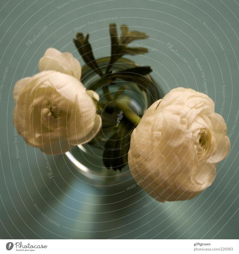 giant snowflakes Natur Pflanze Frühling Blume Blatt Blüte Blühend ästhetisch Duft weiß Vase Behälter u. Gefäße Blumenvase Pflanzenteile Blütenblatt grün
