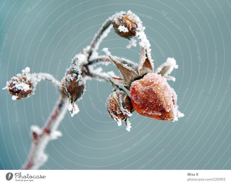 Frostige Rose Pflanze Blume Blatt Winter kalt Garten Blüte Eis Rose Stengel frieren Blütenknospen Eiskristall Raureif welk Nahaufnahme