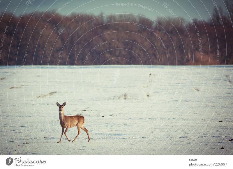 Reh Winter Schnee Umwelt Natur Landschaft Himmel Horizont Wald Tier Wildtier 1 laufen authentisch wild beobachten Neugier Schneedecke Feld Waldrand Wachsamkeit