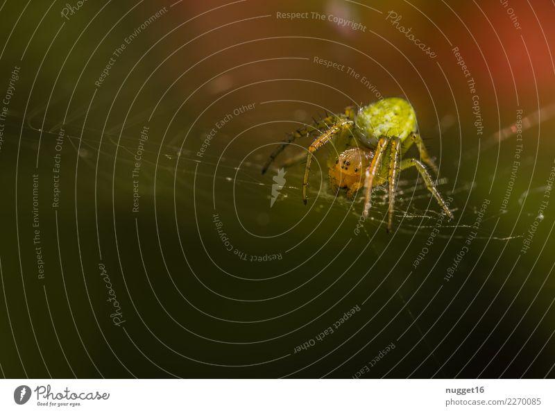 Kürbisspinne Umwelt Natur Tier Sonnenlicht Frühling Sommer Herbst Schönes Wetter Garten Park Wiese Feld Wald Wildtier Spinne Tiergesicht Spinnennetz 1