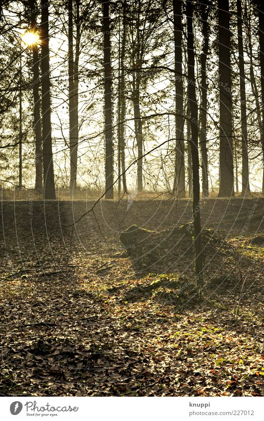 Morgenspaziergang Natur Baum Pflanze Sonne Blatt schwarz Wald gelb Herbst Umwelt gold wild natürlich Wandel & Veränderung Baumstamm Schönes Wetter