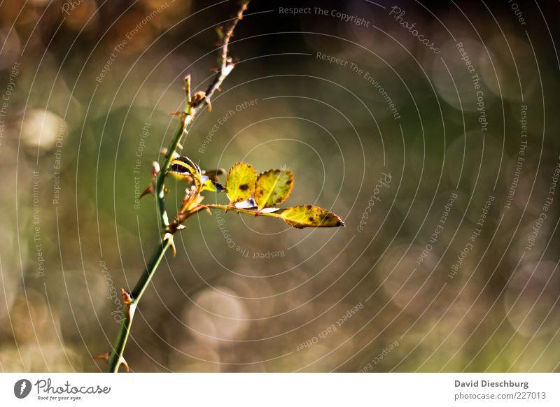 Alleinstehend Natur Pflanze Sommer Schönes Wetter Sträucher Blatt braun grün einzeln Stengel Wachstum Stachel Querformat herbstlich Herbstfärbung Außenaufnahme