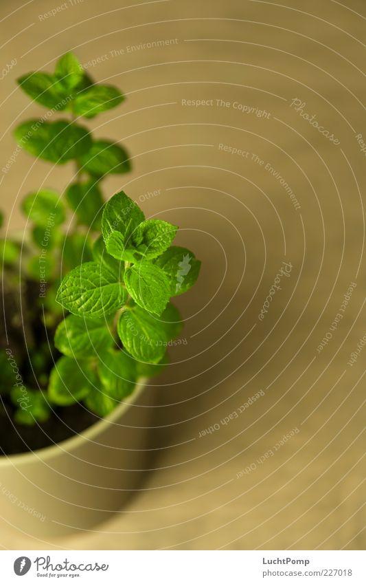 Minz Minze Minzeblatt Pflanze Blatt aromatisch Duft ätherische Öle Blumentopf grün frisch knackig Holztisch Blattadern Blattgrün intensiv Schwache Tiefenschärfe