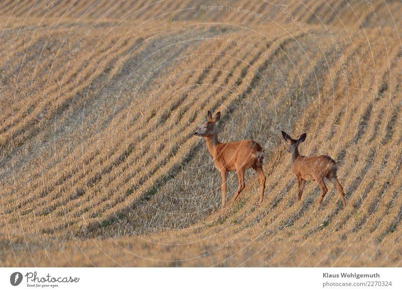 Auf dem Präsentierteller Landschaft Sommer Schönes Wetter Getreide Feld Tier Fell Reh Rehkitz 2 Tierjunges Tierfamilie beobachten stehen warten trist braun grau