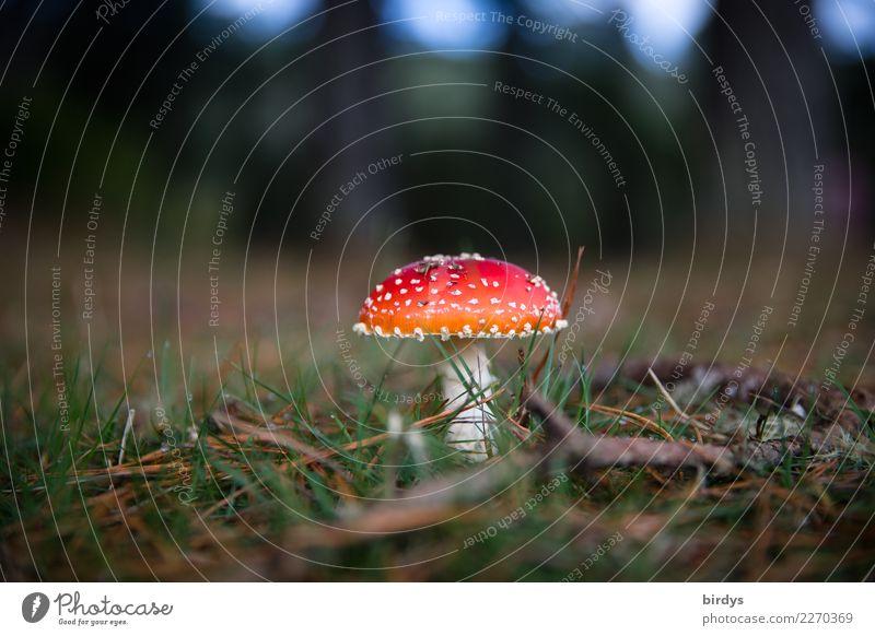 wachsen und gedeihen | ein Männlein steht im Walde ... Natur Pflanze Erde Sommer Herbst Fliegenpilz Waldboden leuchten Wachstum ästhetisch Freundlichkeit