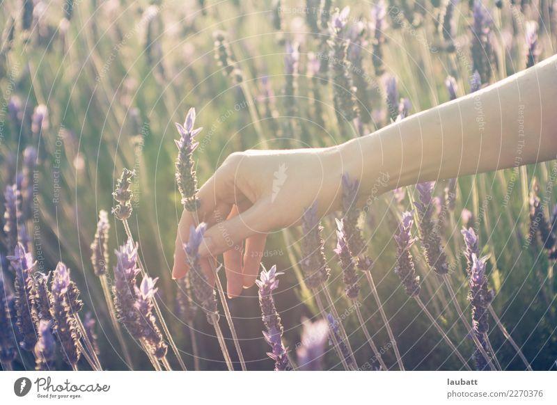 Lavendelsammeln schön Körperpflege Haut Maniküre Kosmetik Parfum Creme Nagellack Gesundheitswesen Behandlung Alternativmedizin Allergie Medikament Wellness