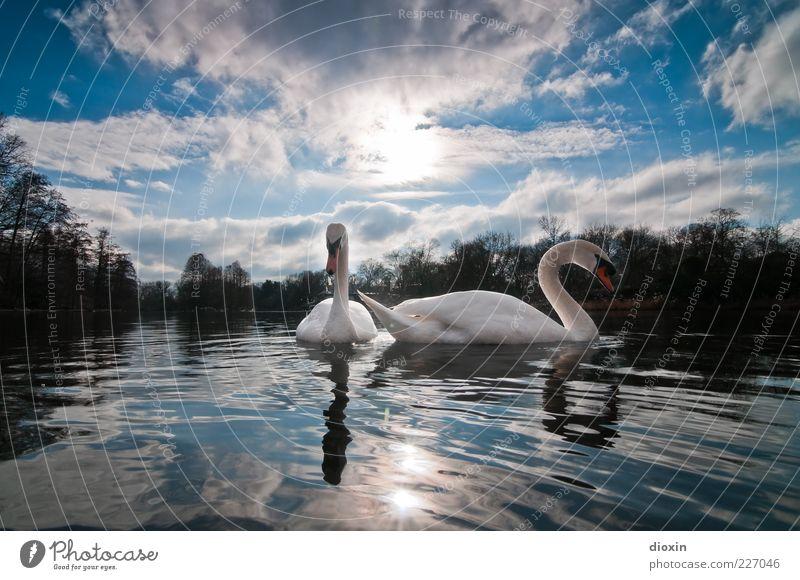 Ledas Schwäne Himmel Natur Wasser blau weiß schön Sonne Wolken Tier Umwelt Luft See Park Wetter Zufriedenheit Vogel