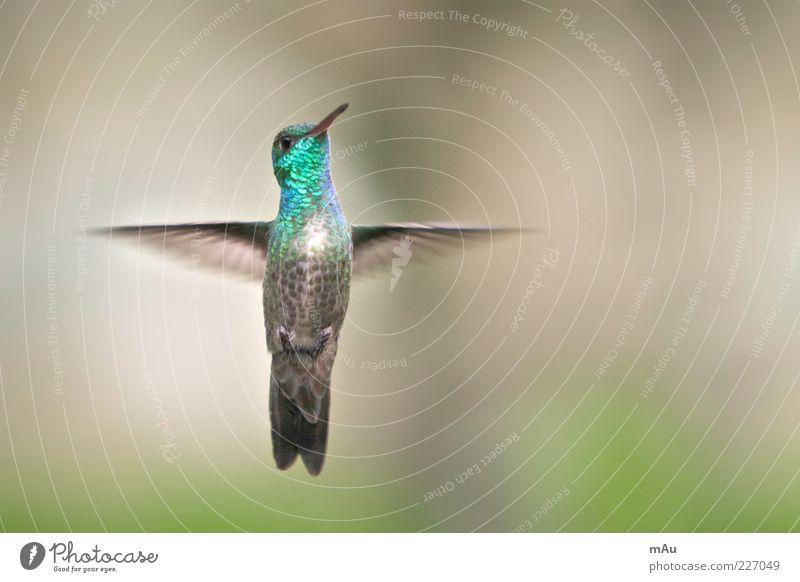 Beija Flor Natur grün Tier Vogel glänzend fliegen Geschwindigkeit Feder Flügel Schnabel vertikal Licht flattern gefiedert Kolibris Vogelflug
