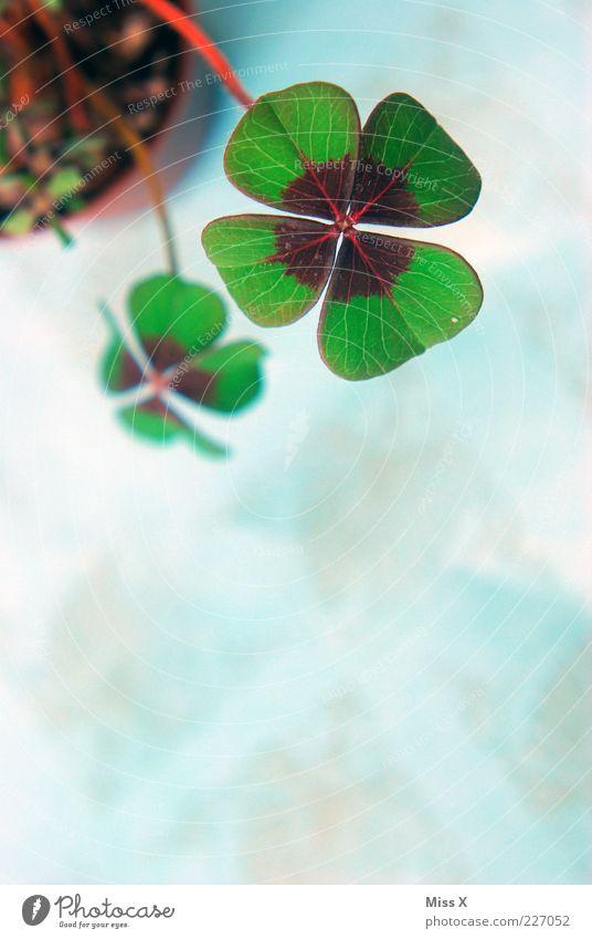 Glücksklee III Pflanze Blatt Glück Symbole & Metaphern Stengel Kleeblatt Klee Blume Topfpflanze Glücksbringer Glücksklee vierblättrig