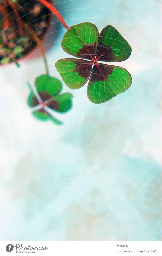 Glücksklee III Pflanze Blatt Symbole & Metaphern Stengel Kleeblatt Blume Topfpflanze Glücksbringer vierblättrig