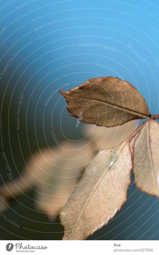 blätter Himmel Natur blau Pflanze Blatt Herbst weich Schönes Wetter Herbstlaub herbstlich Makroaufnahme