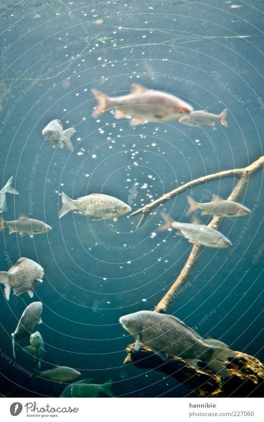 freitags Fisch Umwelt Natur Tier Teich See Bach Fluss Wildtier Aquarium Schwarm blau grau Luftblase kalt Wasser nass Farbfoto Unterwasseraufnahme