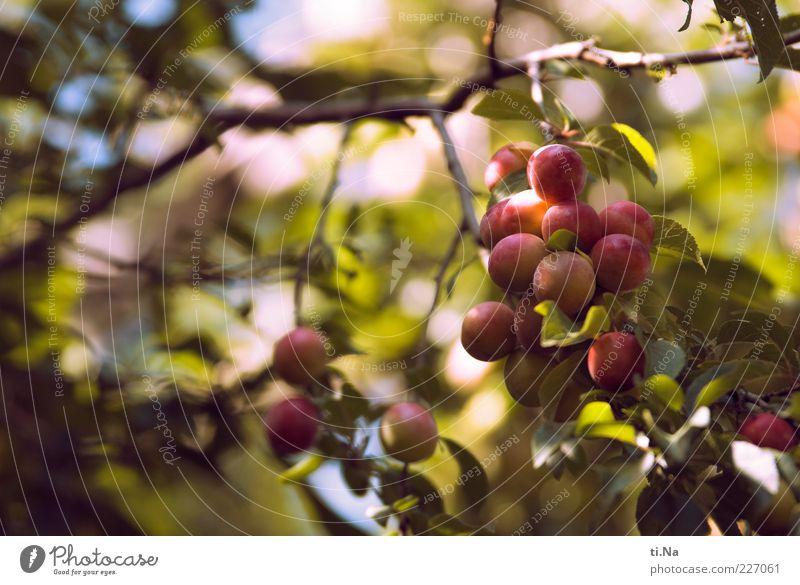 es wird mal wieder Zeit... Natur Pflanze grün Sommer Blatt Umwelt Wachstum frisch authentisch violett lecker hängen Nutzpflanze Wildpflanze Pflaume Baumfrucht
