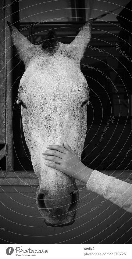 Pferdekur Mensch Hand Tier ruhig Freundschaft genießen Finger Freundlichkeit berühren Leidenschaft Fürsorge Vorsicht Sympathie Zärtlichkeiten Mitgefühl