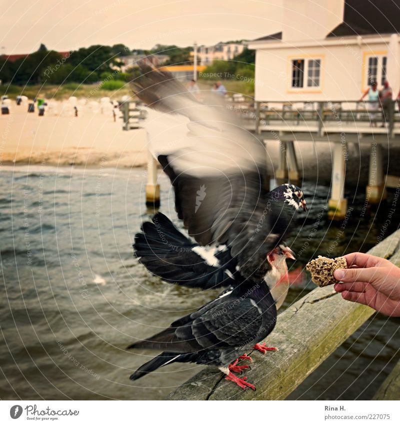 Futterneid Natur Hand Sommer Strand Tier Erholung Holz fliegen Geländer Appetit & Hunger Steg Ostsee Taube Fressen Aggression füttern