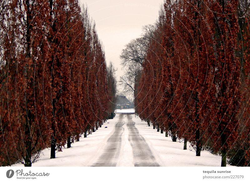 Winterliche Pappelallee Umwelt Natur Pflanze Herbst Klima schlechtes Wetter Eis Frost Schnee Baum Pappeln Park Straße Wege & Pfade Allee Stimmung Traurigkeit